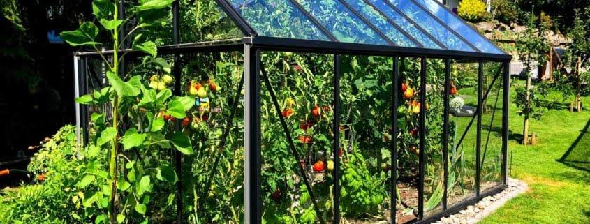 ett rengjort växthus med tomatplantor inuti.